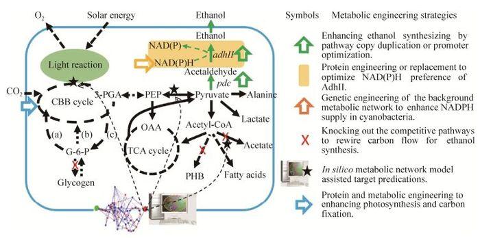 蓝细菌乙醇光合细胞工厂的发展与展望