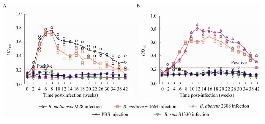 对OMP28的体液免疫应答较弱,仅有感染后的山羊血清可以与OMP28