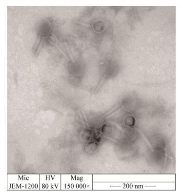 2),该噬菌体呈正多面体的头部结构,头部直径约99 nm,尾部长约122 nm